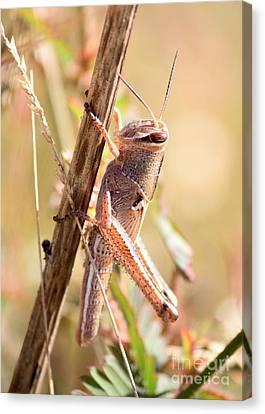 Grasshopper Canvas Print - Grasshopper In The Marsh by Carol Groenen