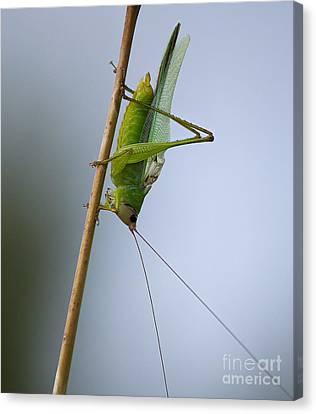 Grasshopper Canvas Print by Anne Rodkin
