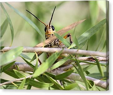 Grasshopper Peeking At Me Canvas Print by Suzie Banks