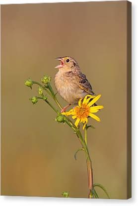 Grasshopper Sparrow Singing Canvas Print