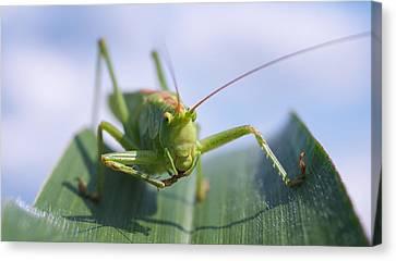 Grasshopper Canvas Print by Tilen Hrovatic