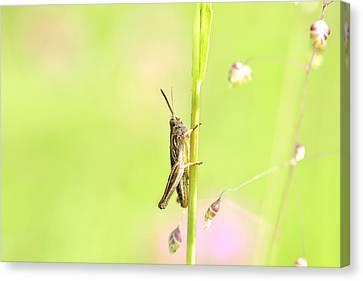 Grasshopper  Canvas Print by Tommytechno Sweden