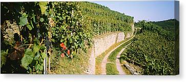Gravel Road Passing Through Vineyards Canvas Print by Panoramic Images
