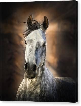 Gray Arabian Horse Canvas Print by Linda Sherrill