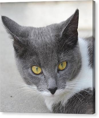 Gray Cat - Listening Canvas Print