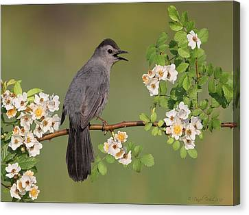 Gray Catbird Calling Canvas Print by Daniel Behm