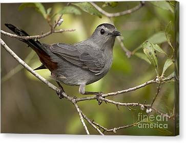Canvas Print featuring the photograph Gray Catbird by Meg Rousher