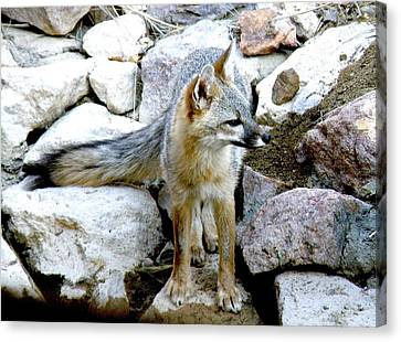 Gray Fox At The Oasis Canvas Print by Feva  Fotos