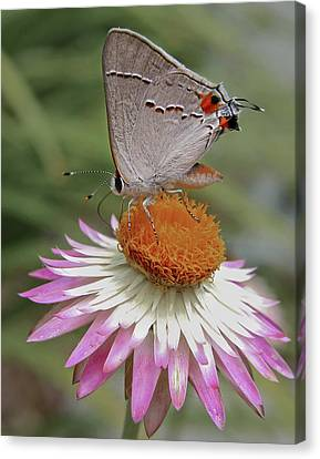 Gray Hairstreak And Straw Flower Canvas Print by David and Carol Kelly