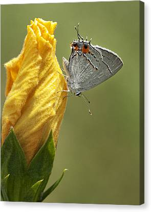Gray Hairstreak Butterfly Canvas Print by Kathy Clark