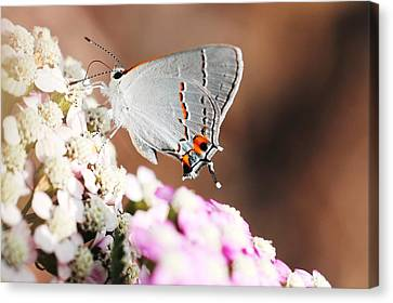Gray Hairstreak Butterfly Canvas Print by Lorri Crossno