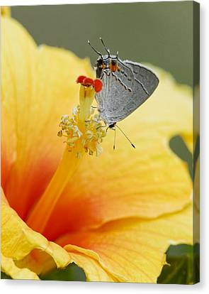 Gray Hairstreak Butterfly On Yellow Hibiscus Canvas Print by Kathy Clark