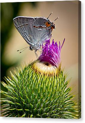 Canvas Print featuring the photograph Gray Hairstreak On Thistle by Janis Knight