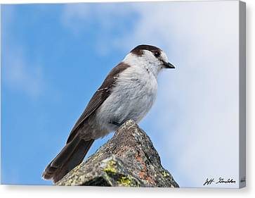 Gray Jay With Blue Sky Background Canvas Print