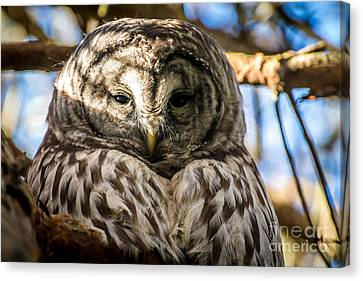 Gray Owl Canvas Print by Sabine Edrissi