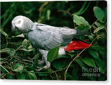 Gray Parrot Canvas Print by Gregory G. Dimijian, M.D.