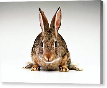 Gray Rabbit Bunny  Canvas Print by Lanjee Chee