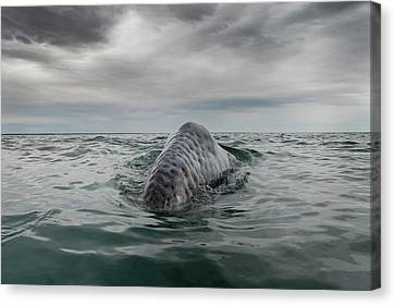 Gray Whale Breaching Canvas Print by Christopher Swann
