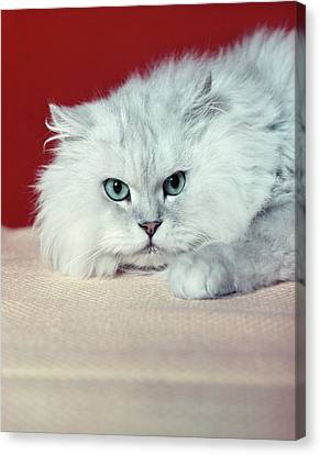 Old Blue Eyes Canvas Print - Gray White Long Haired Cat Blue Eyes by Vintage Images