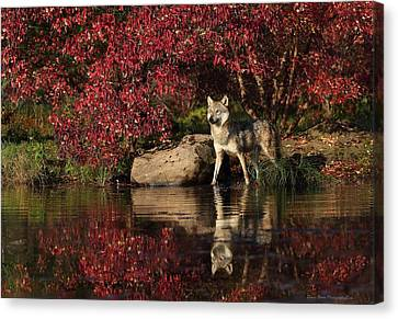 Gray Wolf At Waters Edge Canvas Print