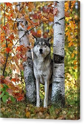 Gray Wolf Between Aspens Canvas Print