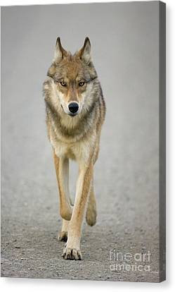 Gray Wolf Denali National Park Alaska Canvas Print by Yva Momatiuk John Eastcott