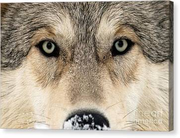 Gray Wolf Face Canvas Print by Louise Murray