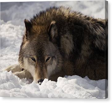 Gray Wolf In Snow Canvas Print