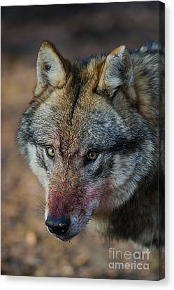 Gray Wolf Portrait Canvas Print by Willi Rolfes