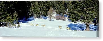 Gray Wolves Canis Lupus Running Canvas Print by Panoramic Images