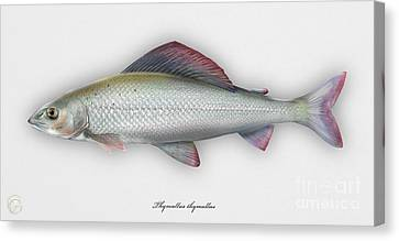 Canvas Print featuring the painting Grayling - Thymallus Thymallus - Ombre Commun - Harjus - Flyfishing - Trout Waters - Trout Creek by Urft Valley Art
