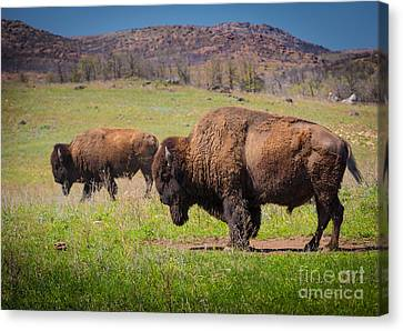Grazing Bison Canvas Print by Inge Johnsson