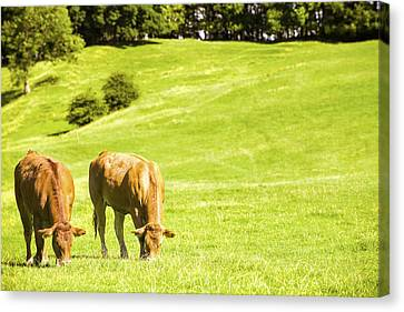 Grazing Cows Canvas Print by Amanda Elwell
