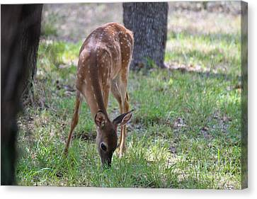 Grazing Fawn Canvas Print