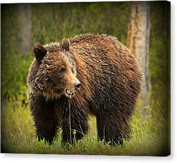 Grazing Grizzly Canvas Print by Stephen Stookey