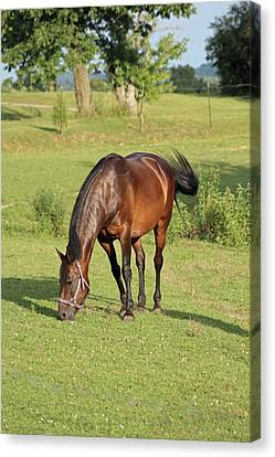 Grazing Mare Canvas Print