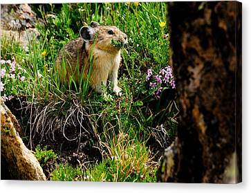 Grazing Pika Canvas Print