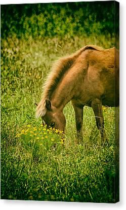 Grazing Pony Canvas Print by Karol Livote