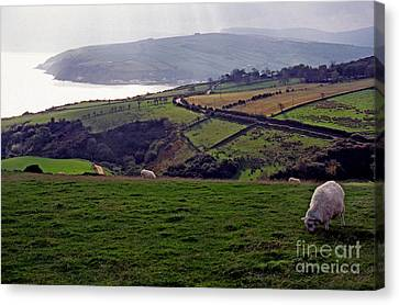 Grazing Sheep County Antrim Northern Ireland Canvas Print by Thomas R Fletcher