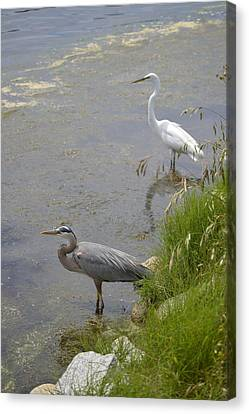 Great Blue And White Egrets Canvas Print by Judith Morris