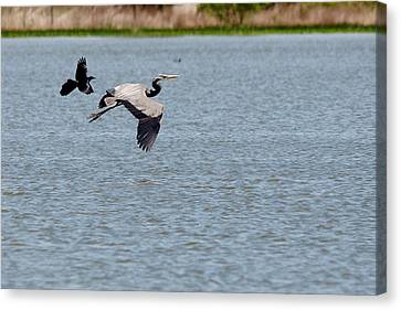 Great Blue Chased By A Grackle Canvas Print by Roy Williams