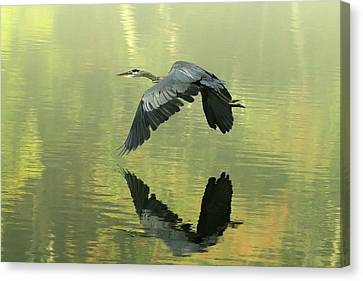 Great Blue Fly-by Canvas Print