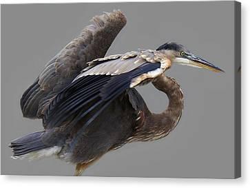 Great Blue Heron - # 4 Canvas Print by Paulette Thomas