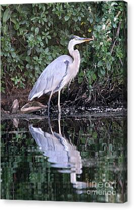 Great Blue Heron 1 Canvas Print by Jemmy Archer