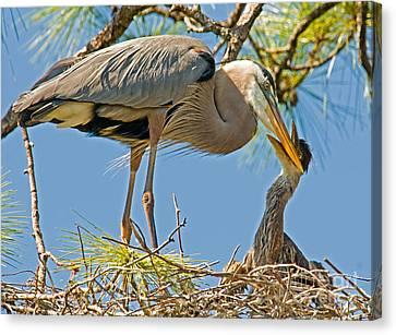 Great Blue Heron Adult Feeding Nestling Canvas Print by Millard H. Sharp