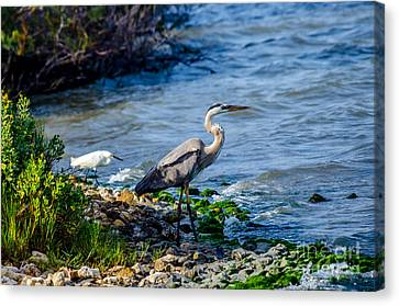Great Blue Heron And Snowy Egret At Dinner Time Canvas Print