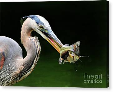 Great Blue Heron And The Catfish Canvas Print by Kathy Baccari