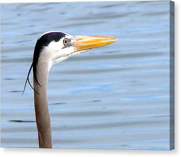Canvas Print featuring the photograph Great Blue Heron Breeding Profile by Linda Cox