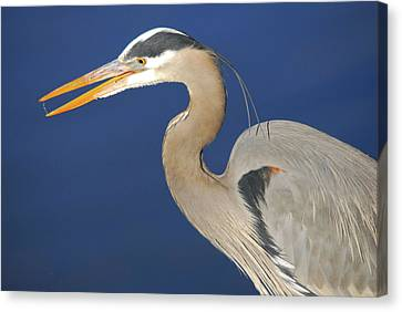 Great Blue Heron, Commonwealth Lake Canvas Print by Michel Hersen