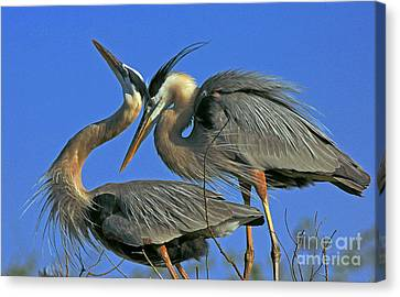 Canvas Print featuring the photograph Great Blue Heron Courting Pair by Larry Nieland